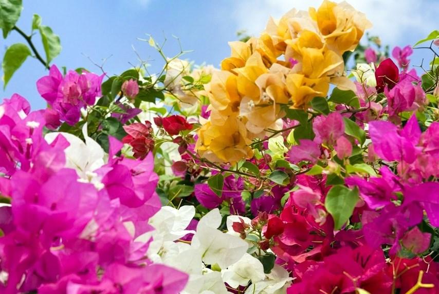Что привезти с Тенерифе. Проростки цветов. Бугенвиллия на Тенерифе бывает разных цветов