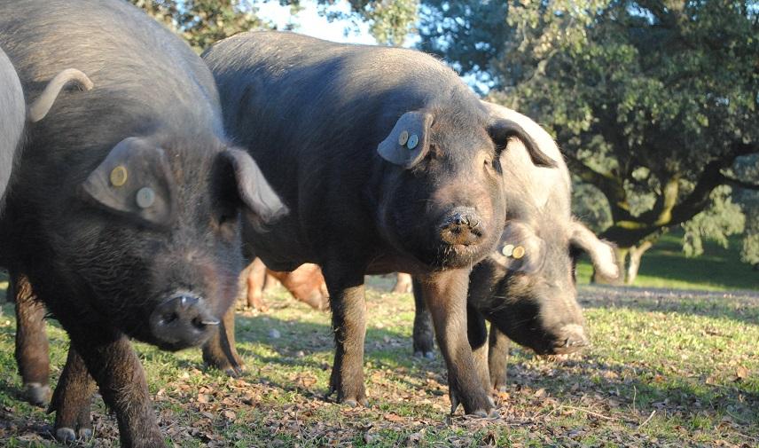 По производству свинины Испания обошла все страны Европы