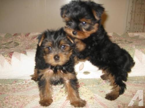 Yorkie Puppy Espanarusa