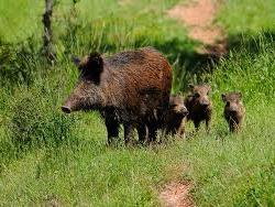 В Башкирии браконьер заплатит штраф - 45 тыс. рублей за убитого кабана