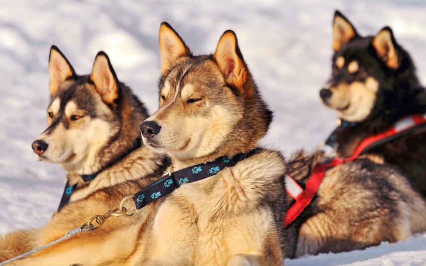 Картинки по запросу катание собачьих упряжках андорра