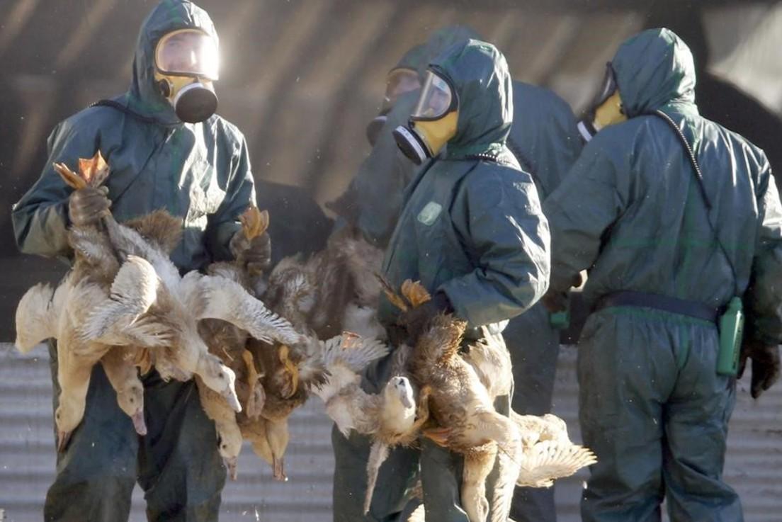 птичьего гриппа картинки для вдоль террасы или