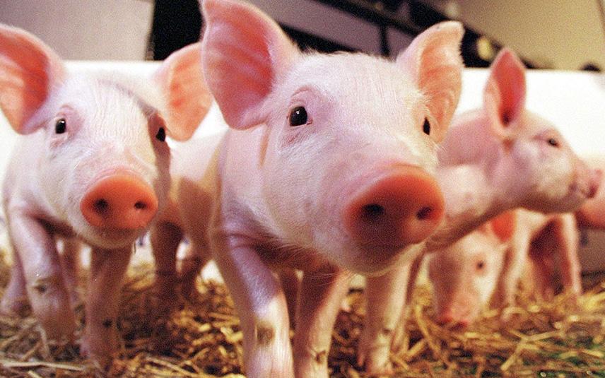 Испанское свиноводство наращивает обороты. Испания по-русски - все о жизни в Испании