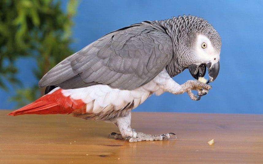 Британский попугай, пропавший на четыре года, вернулся говоря на испанском.