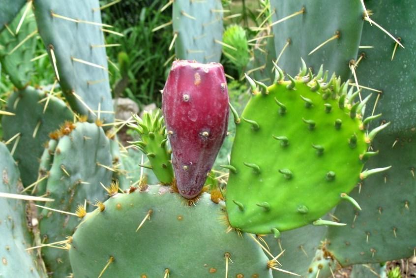 Что привезти с Тенерифе. Варенье из кактусов. Никогда не собирайте плоды опунции самостоятельно